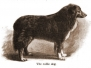 Historic Collie Illustrations