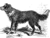 Shepherd's dog or collie