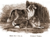 history-of-the-collie-1890