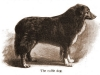 Farm Collie 1906