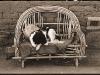 Collie Concho AZ - 1940