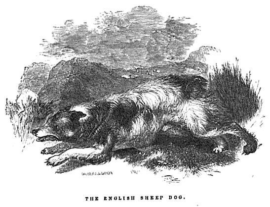 The English Sheep Dog, 1846