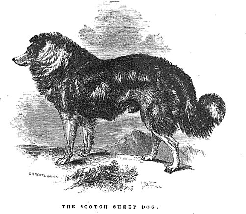 scotch-shepherd