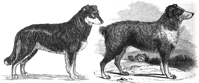 the image on the left is from the UKC English Shepherd breed standard, the one on the right is an 1847 illustration of the English Shepherd's Dog. Separated at birth or what?