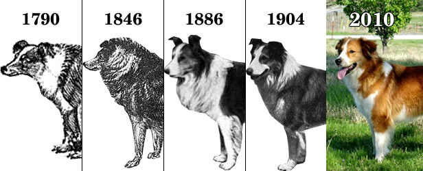 farm collie history