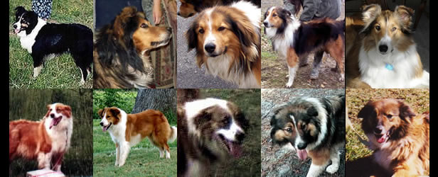 dogs of the farm collie movement