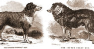 English Shepherd and Scotch Collie compared