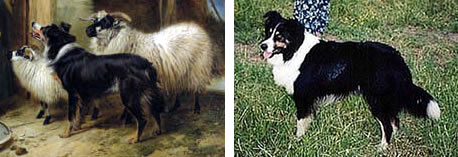 Ansdell Collie compared to Sojourner's Jacob