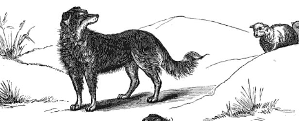 Early Scotch Collie illustration