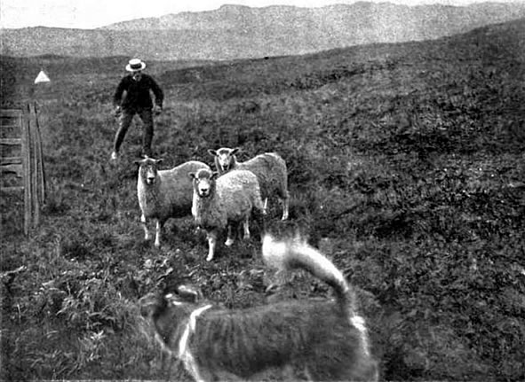 Shepherd and dog working together at the finishing pen.