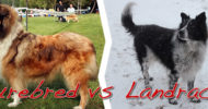 Landrace and Purebred Scotch Collies