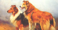 Scotch Collies