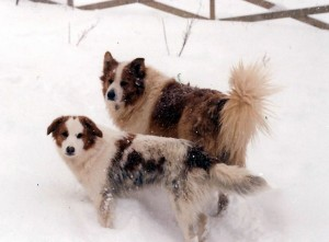 Erika DuBois' Old Fashioned Collies