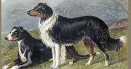 Vero Shaw's Sheep Dogs