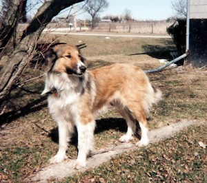 a Canadian collie, Tracy of Fordwich