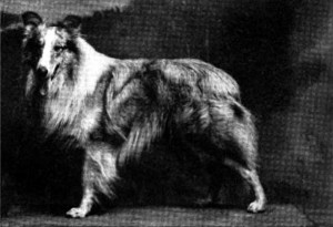 "Champion Collie ""Grey Mist"""