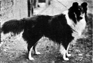 Champion Collie Inma Select