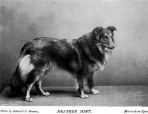 Heather Mint - British Collie 1897