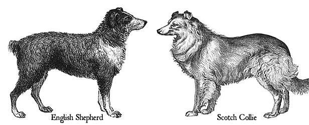 English shepherd vs border collie