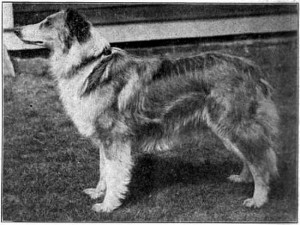 scotch collie owned by W. S. Russell
