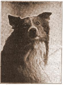 Scotch Collie - 1907
