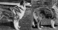scotch collies of 1907