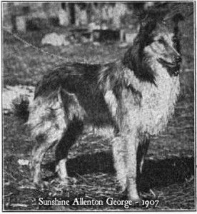 Sunshine Allenton George, a scotch collie of 1907
