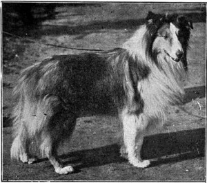 scotch collie owned by Thomas Stretch