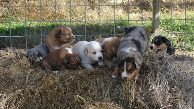 Scotch Collie Puppies Currently Available Oldtimefarmshepherdorg