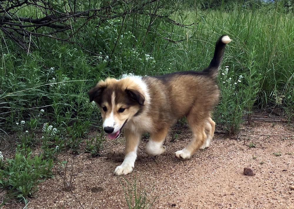 Scotch Collie Puppies / Farm Collie Puppies For Sale Now